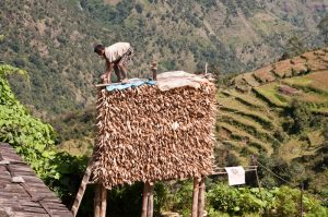 Drying corn the Nepali way - courtesy of Eddie Adams